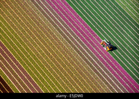 Netherlands, Burgervlotbrug, Tulip fields, Farmer topping tulips. Aerial - Stock Image