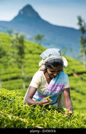 Tea picking, Tea plantation near Hatton, Central Province, Sri Lanka, Asia - Stock Image
