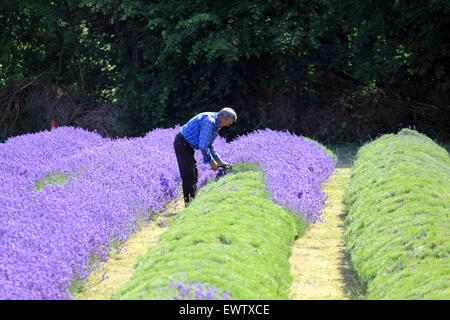 Harvesting the crop at Mayfield Lavender, Croydon Lane, Banstead, Surrey UK. - Stock Image