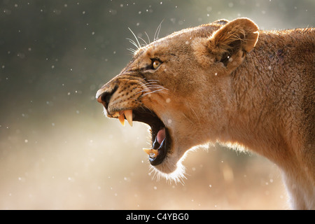 Lioness displays dangerous teeth during light rainstorm - Kruger National Park - South Africa - Stock Image