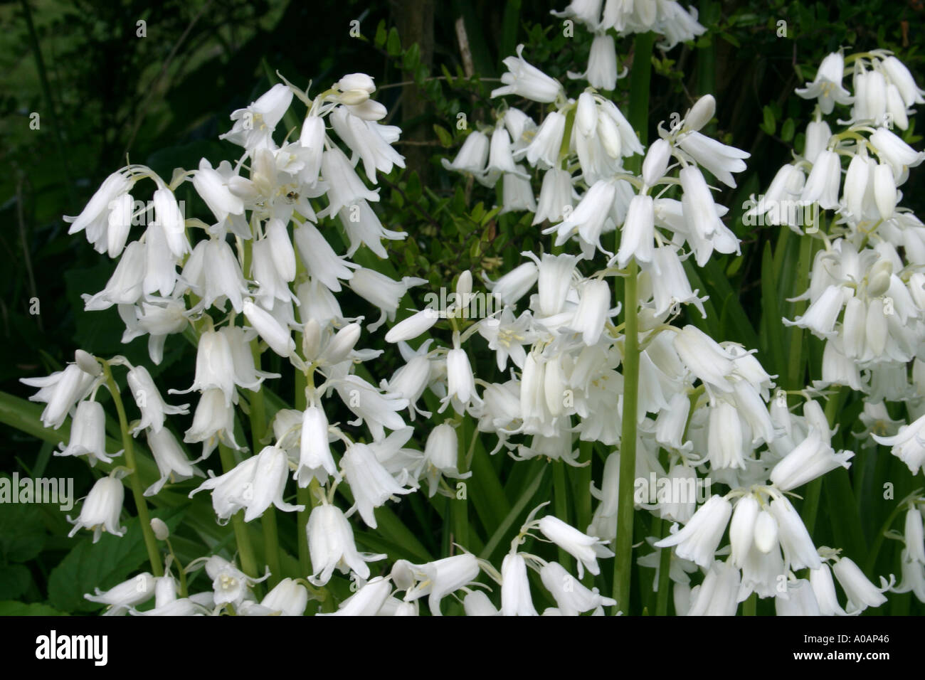 Flowers of white variety of wild hyacinth or bluebell botanical name flowers of white variety of wild hyacinth or bluebell botanical name hyacinthoides non scripta or endymion nonscriptus mightylinksfo Gallery