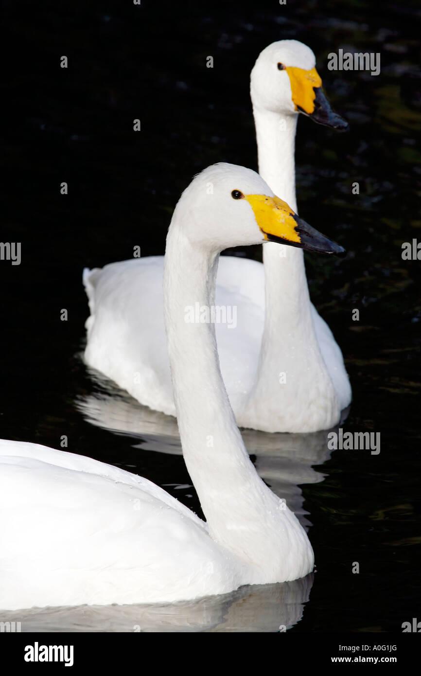 Pair of Whooper Swans  (Cygnus Cygnus) - Stock Image
