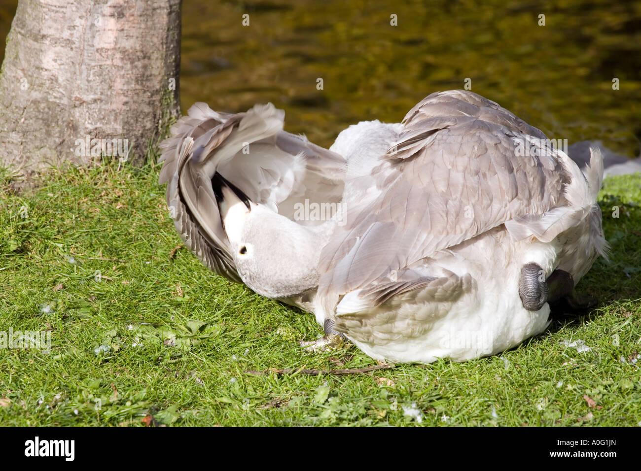 Immature whooper swan (Cygnus Cygnus) - Stock Image