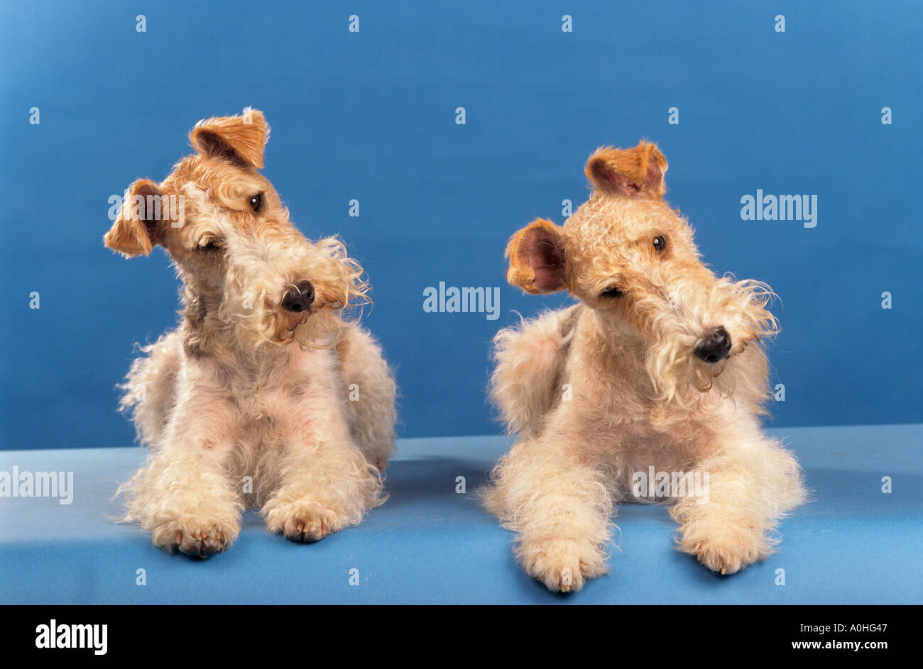 two Wirehaired Fox Terrier dogs - lying Stock Photo: 3263558 - Alamy