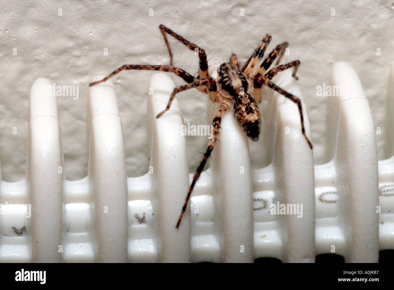 Buzzing spider, a european Ghost spider. Anyphaena accentuata. - Stock Image
