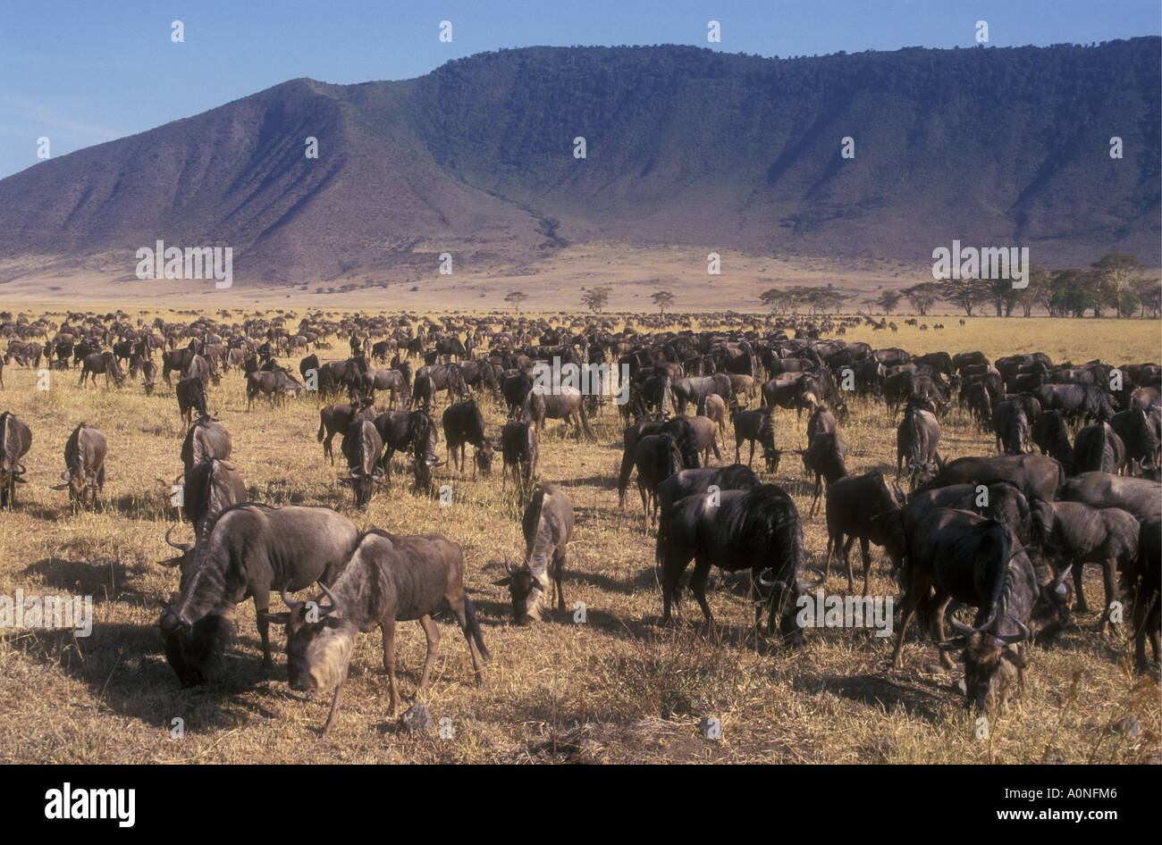 A herd of several thousand wildebeest Ngorongoro Crater Tanzania - Stock Image