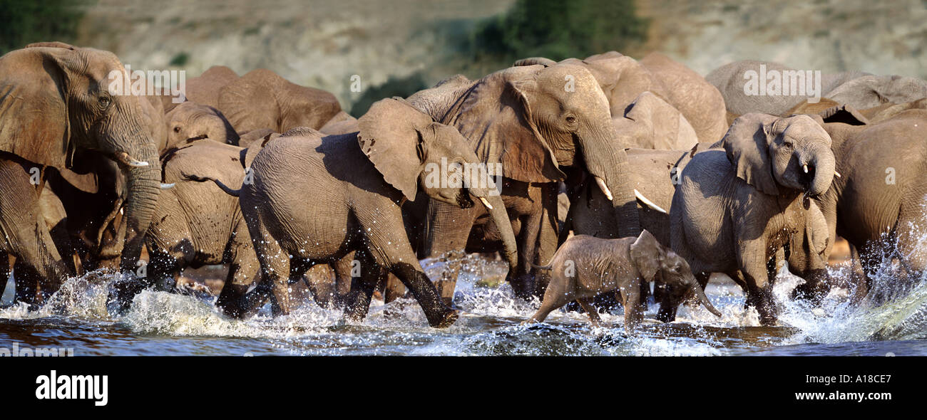 Elephants running in water Chobe Botswana Stock Photo