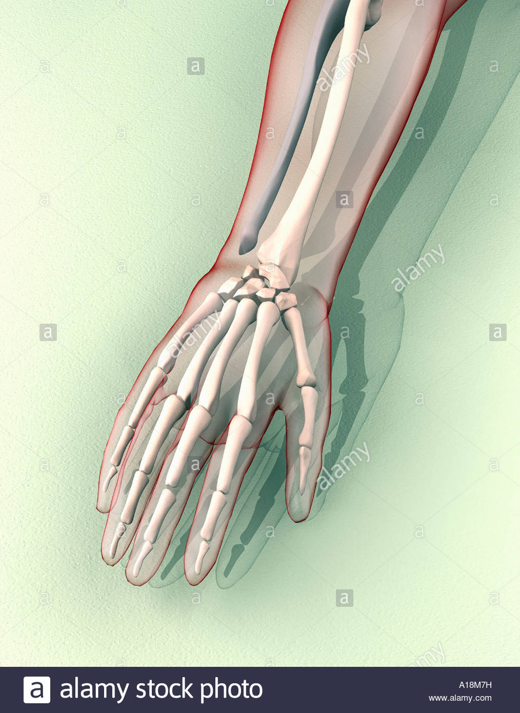 Human Arm With Semi Transparent Form Showing Skeletal Structure