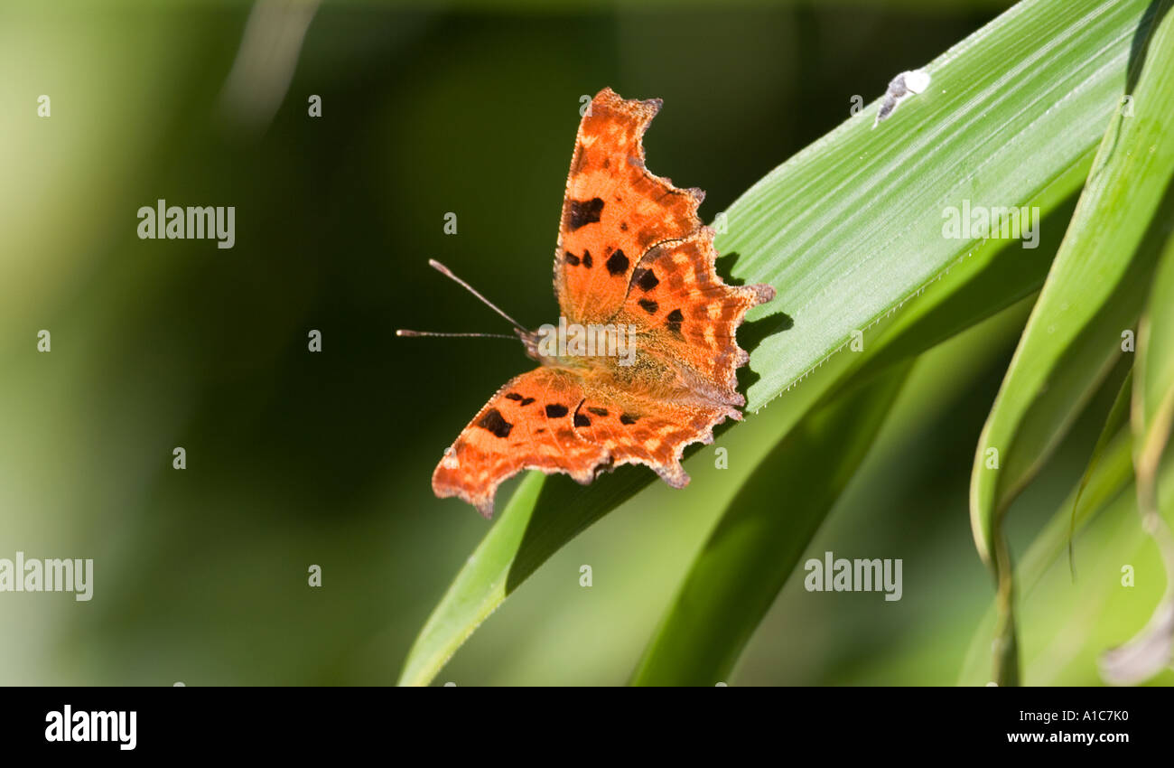 Comma Butterfly on Bamboo leaf. Polygonia c-Album - Stock Image