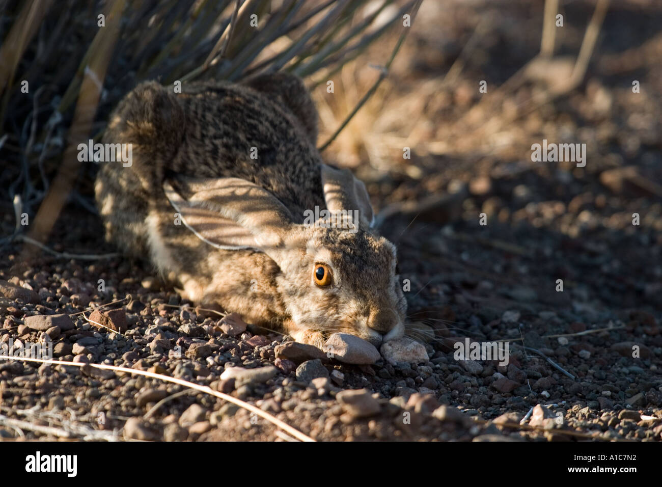 Scrub Hare, frozen to lessen detection in Damaraland, Western Desert, Namibia, Africa - Stock Image