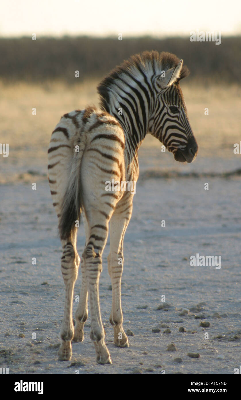 Young Burchell's Zebra Foal,in the early morning light, in Etosha National Park, Namibia. Africa. - Stock Image