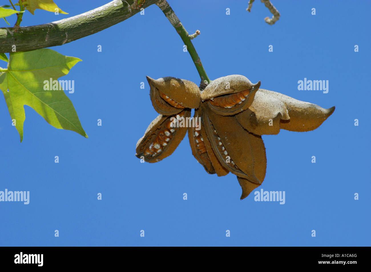Australian flame tree (Brachychiton acerifolius, Sterculia acerifolia), opening fruits, follicles Stock Photo