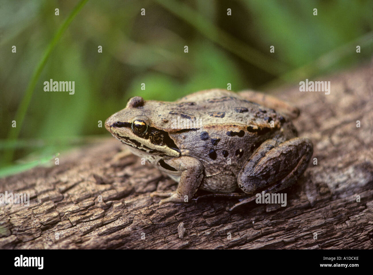 Wood frog rana sylvatica on log Stock Photo