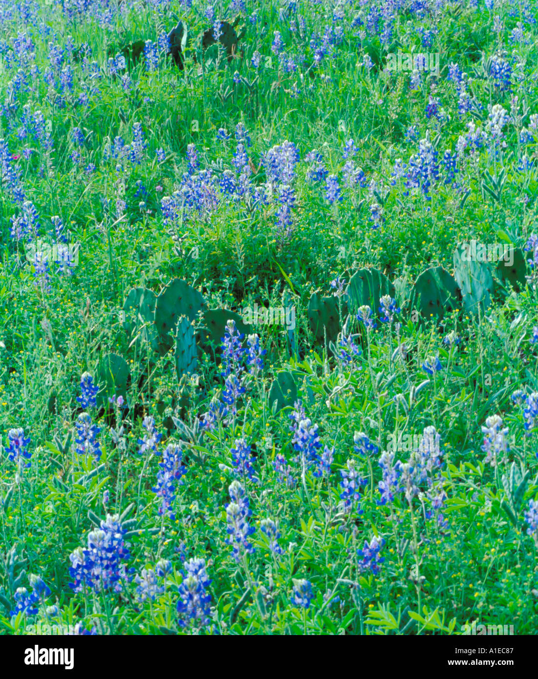 bluebells-in-texas-hill-country-A1EC87.j
