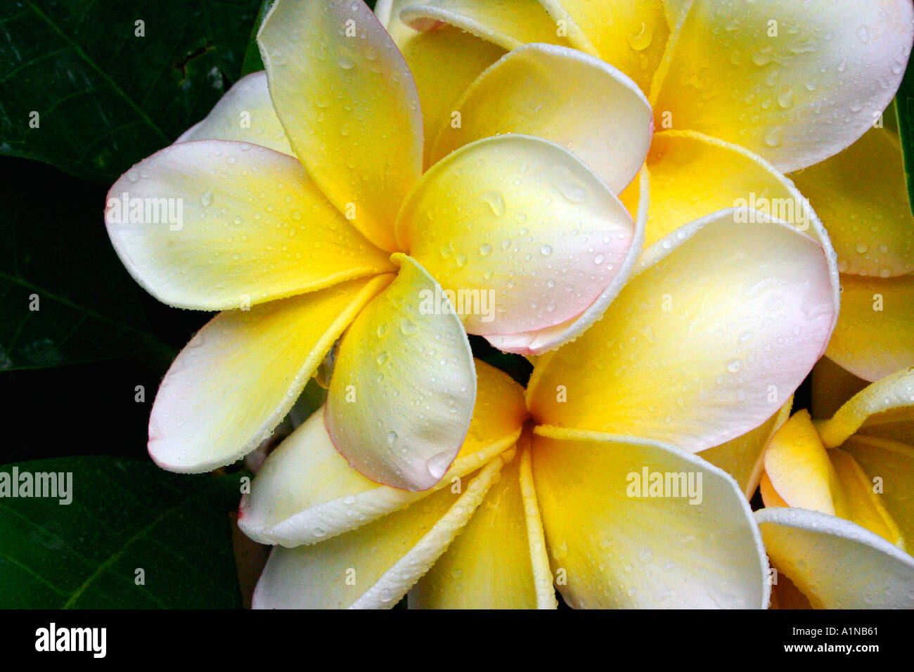 Closeup Of A Cluster Of White And Yellow Plumeria Frangipani Flowers