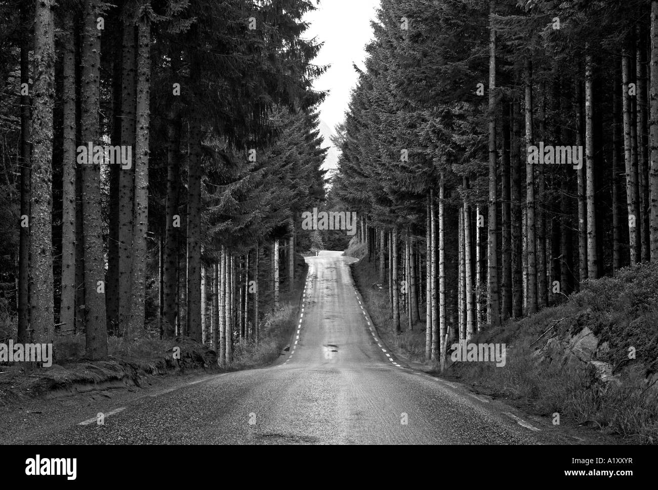 A tree lined roadway through Norwegian pine forest, Norway - Stock Image