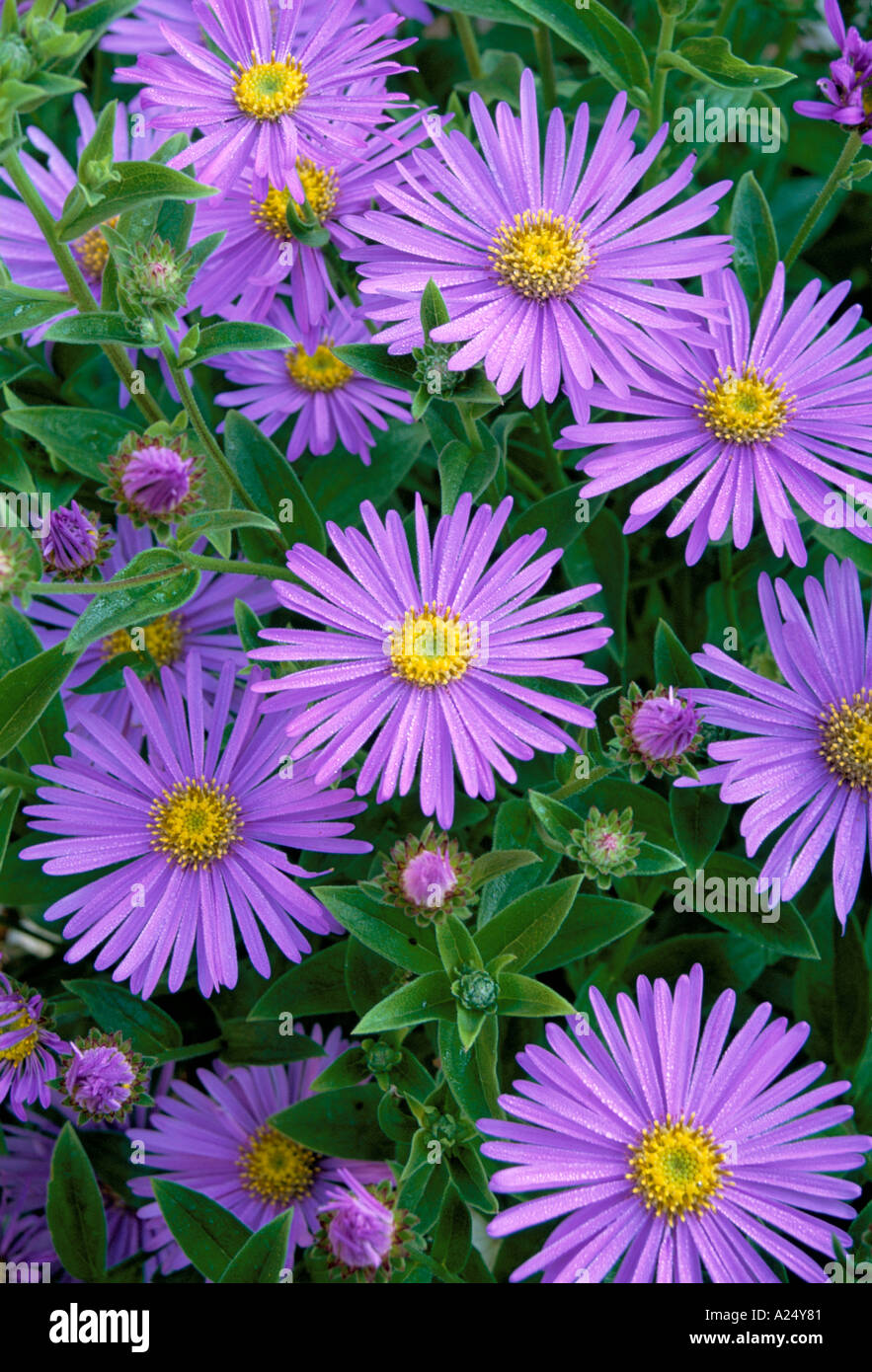 Aster x frikartii stock photos aster x frikartii stock images alamy aster x frikartii monch michaelmas daisy flower stock image izmirmasajfo Image collections