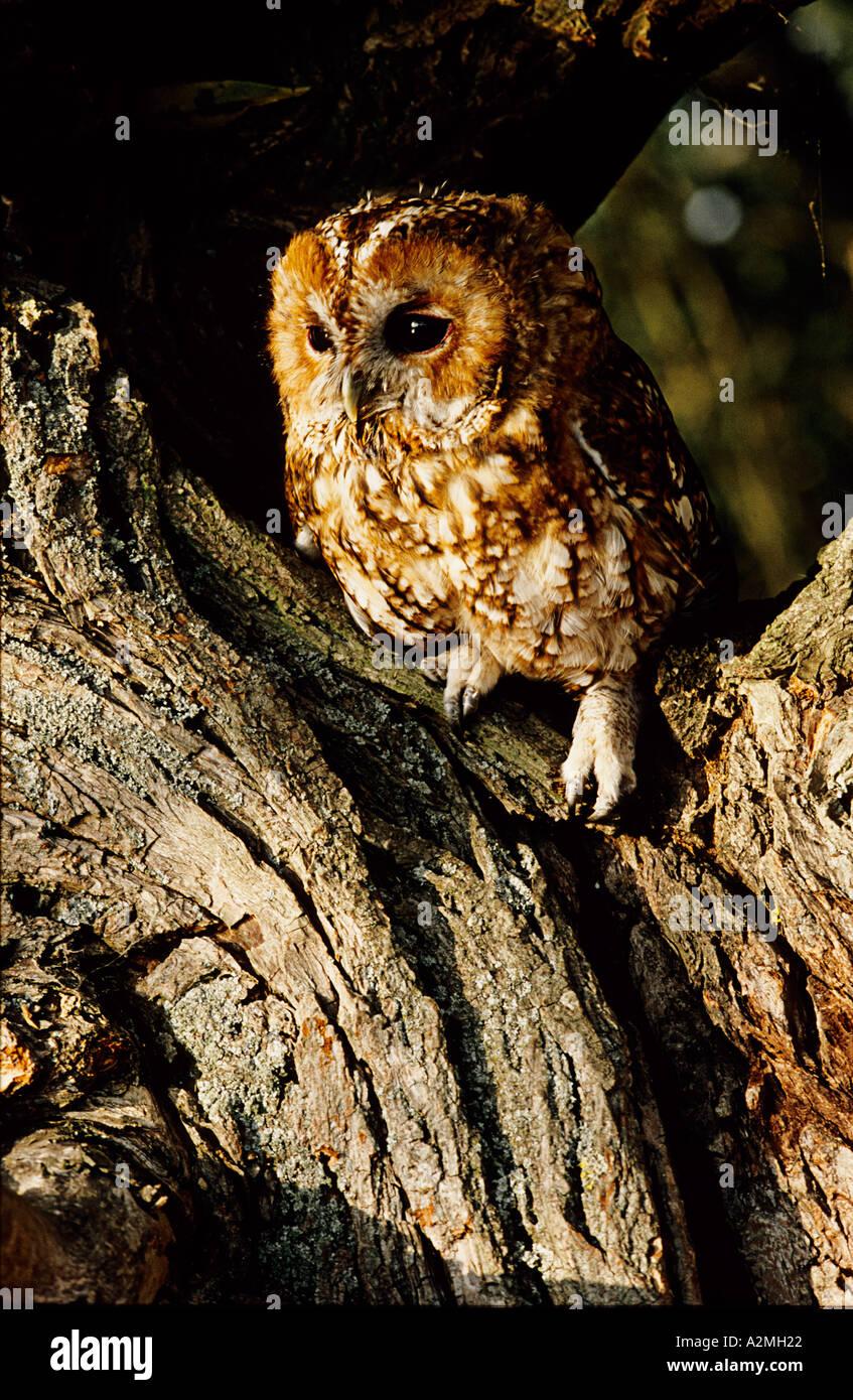 TAWNY OWL Strix aluco - Stock Image