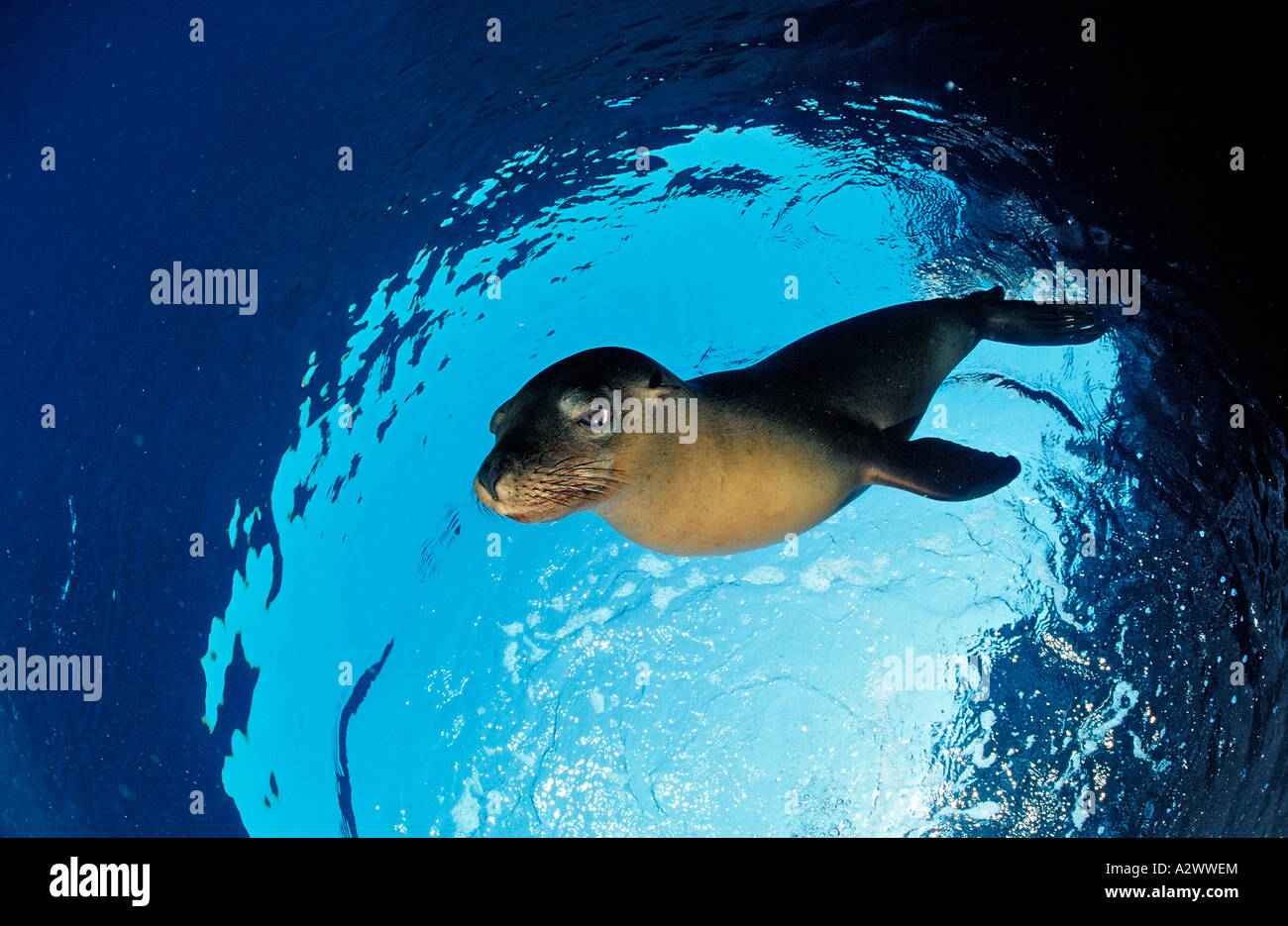 Californian Sea Lion Zalophus californianus Mexico Sea of Cortez Baja California La Paz - Stock Image