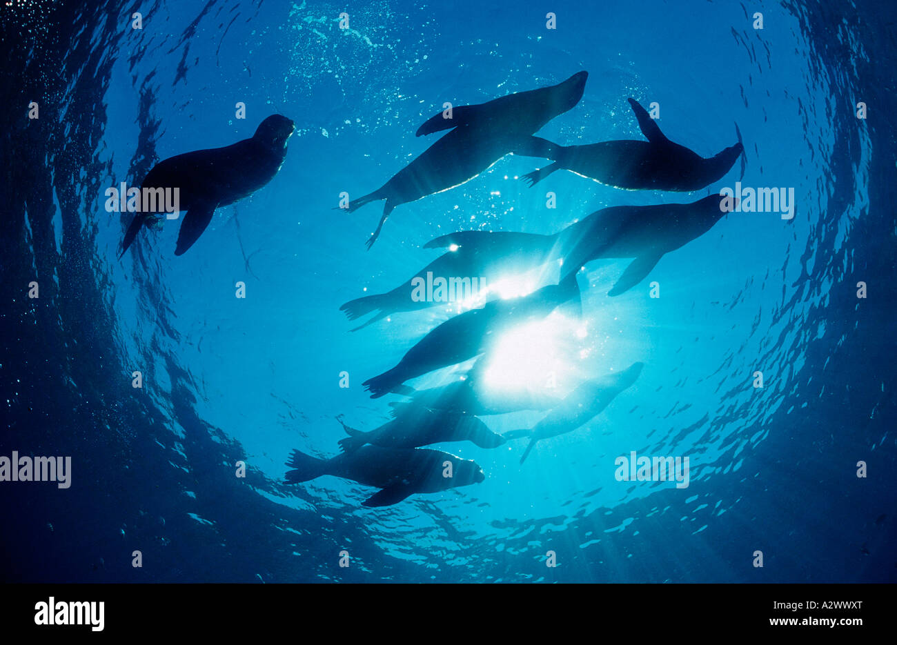 Group of Californian Sea Lion Zalophus californianus USA California Pacific Ocean - Stock Image