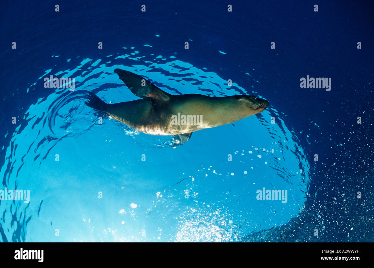 Californian Sea Lion Zalophus californianus USA California Pacific Ocean - Stock Image