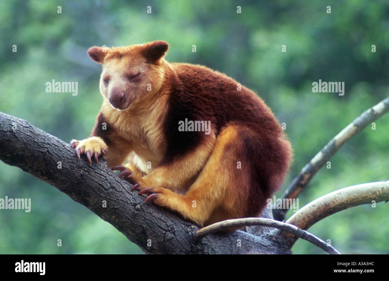 goodfellows-tree-kangaroo-dendrolagus-goodfellowi-A3A3HC.jpg