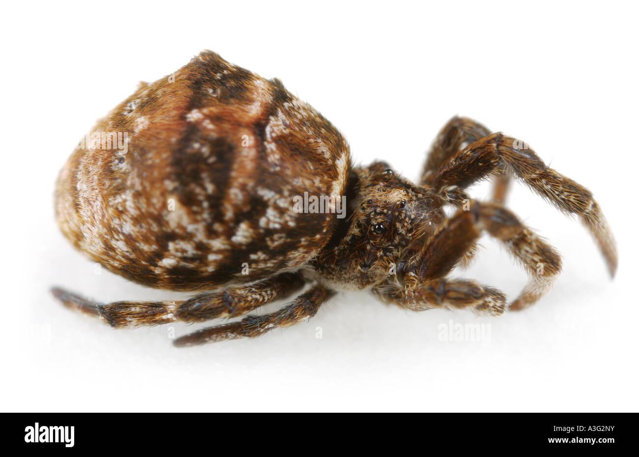 Hyptiotes paradoxus spider, family Uloboridae, on White Background. Stock Photo
