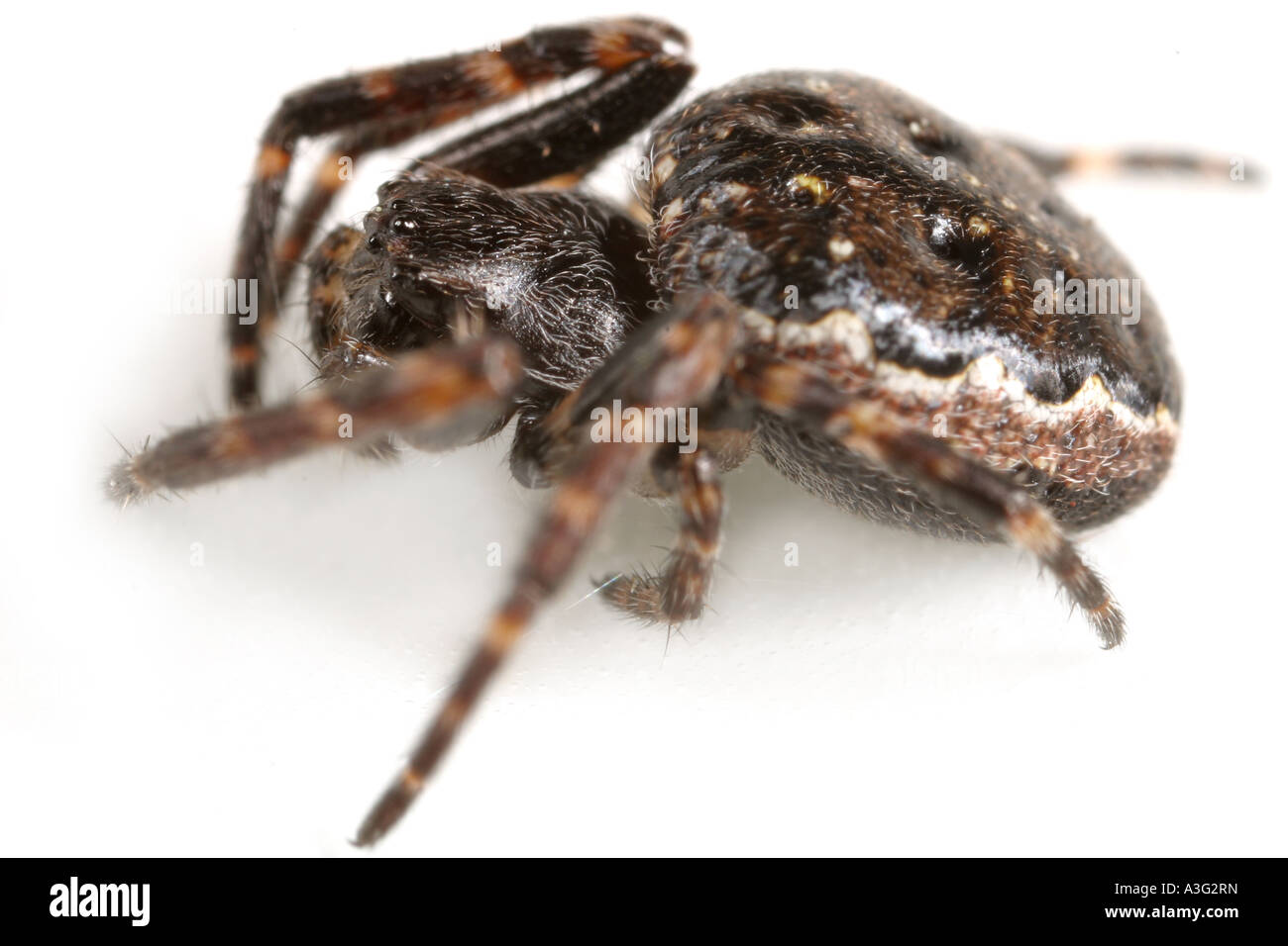 A Nuctenea umbratica spider, Araneidae family, on white background. Stock Photo