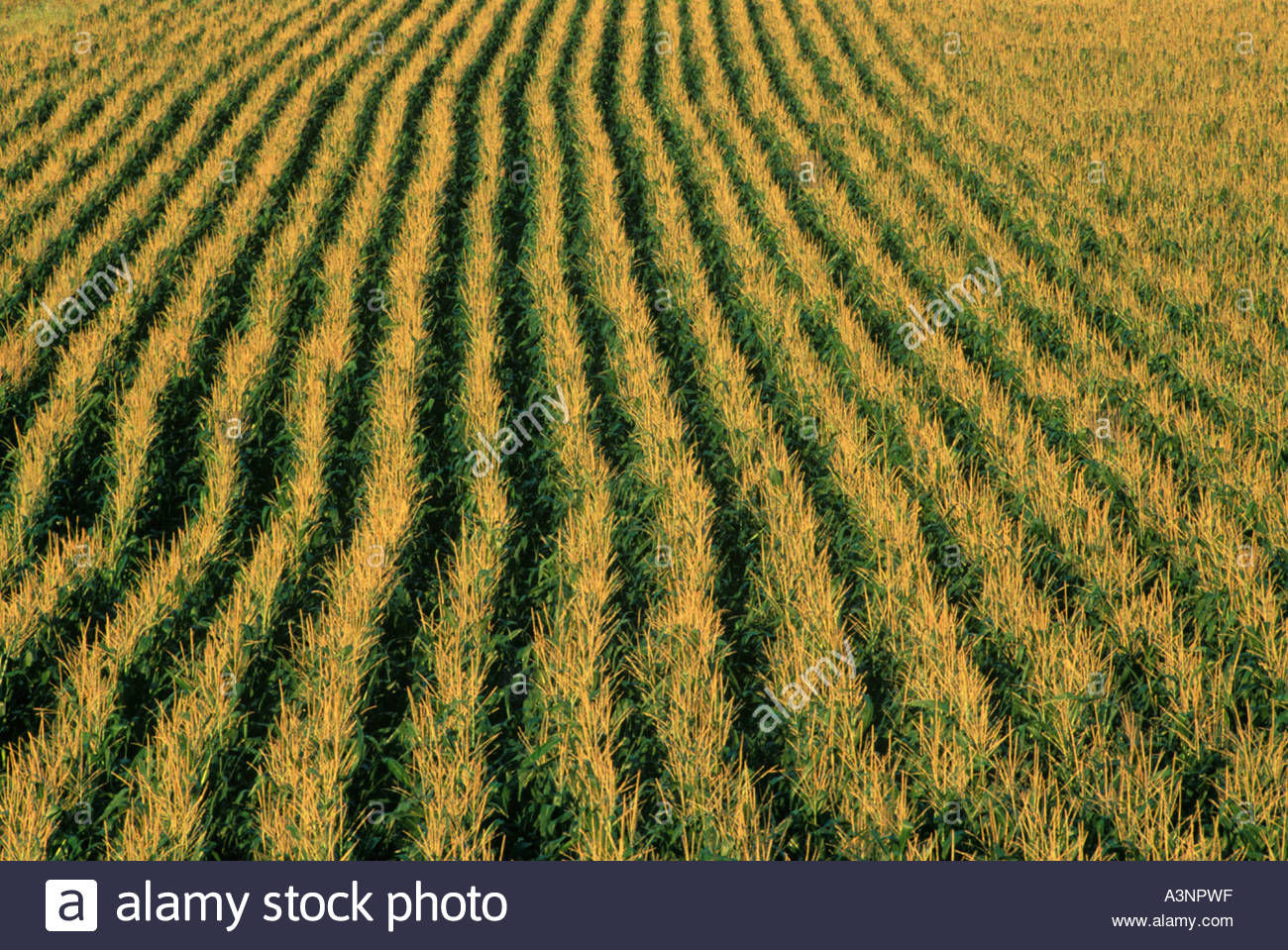 rows-in-a-cornfield-in-ontario-canada-A3