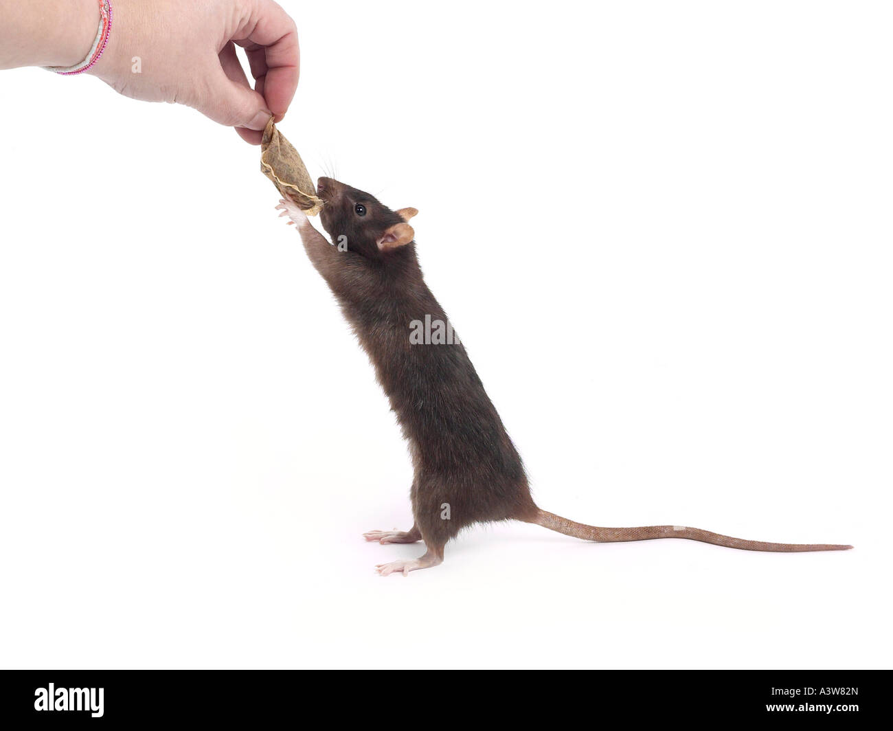 A domesticated rat holding onto a teabag. - Stock Image