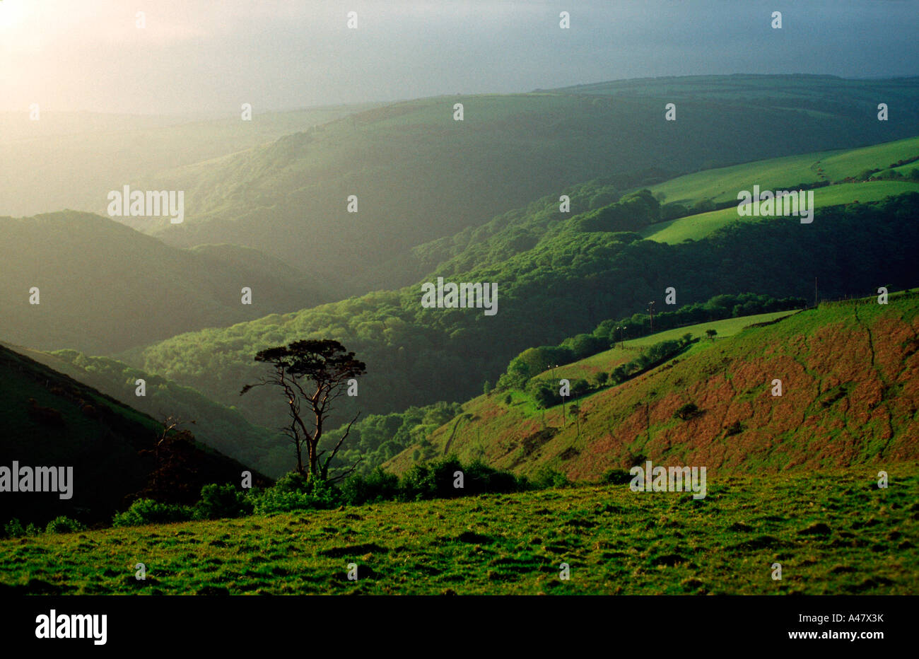 A lone tree on Exmoor Stock Photo