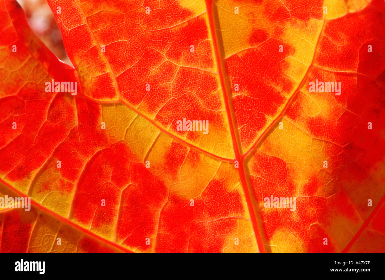 Detail in a dazzling red and gold maple leaf Stock Photo