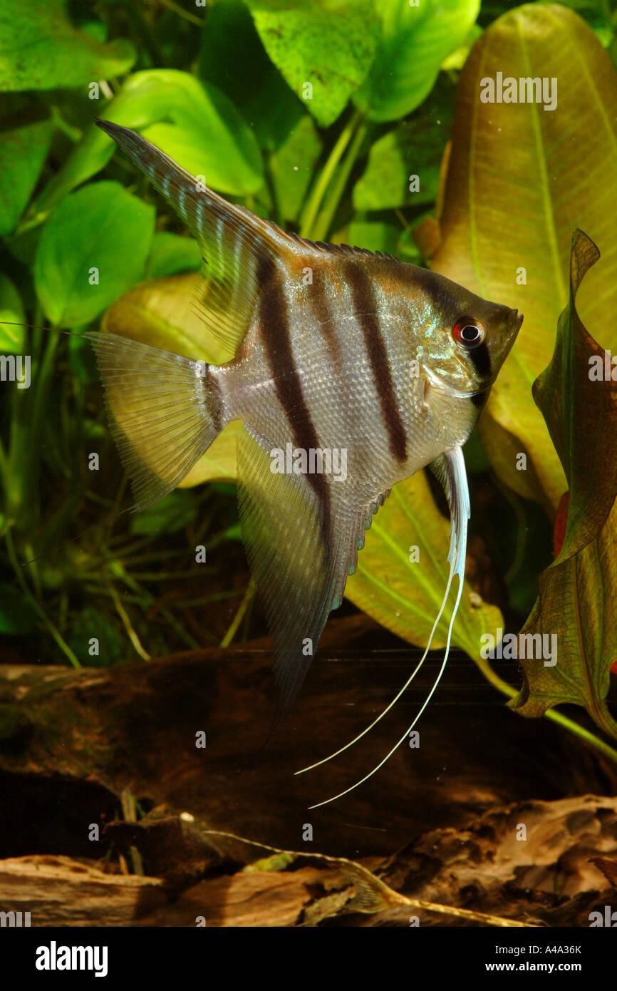 Male Angelfish | Freshwater Angelfish Longfin Angel Fish Black Angelfish Scalare