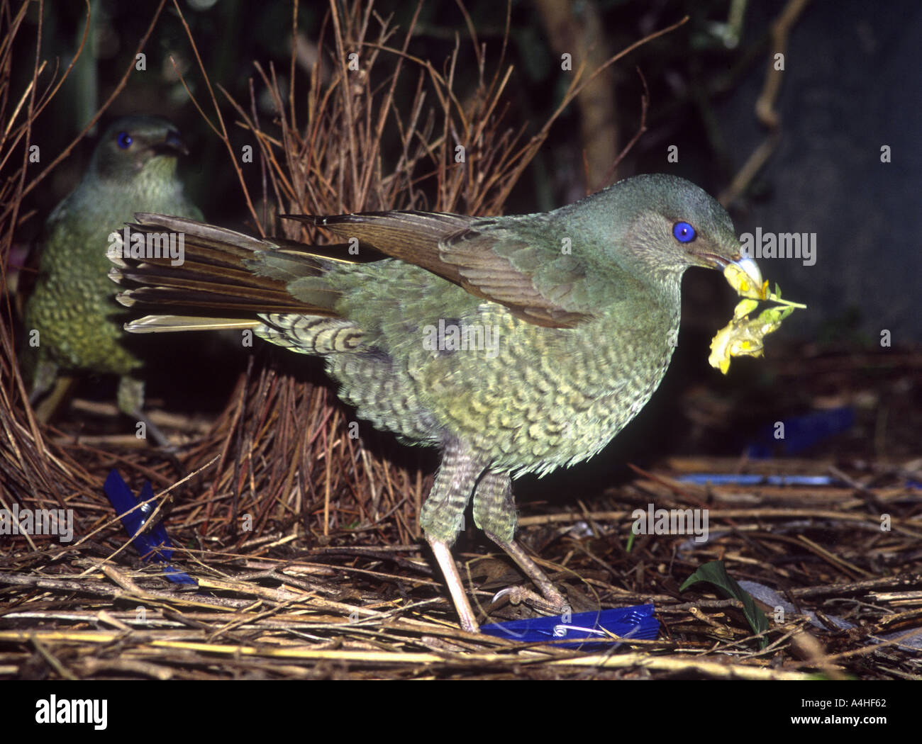 male-satin-bowerbird-ptilonorhynchus-violaceus-this-young-male-has-A4HF62.jpg