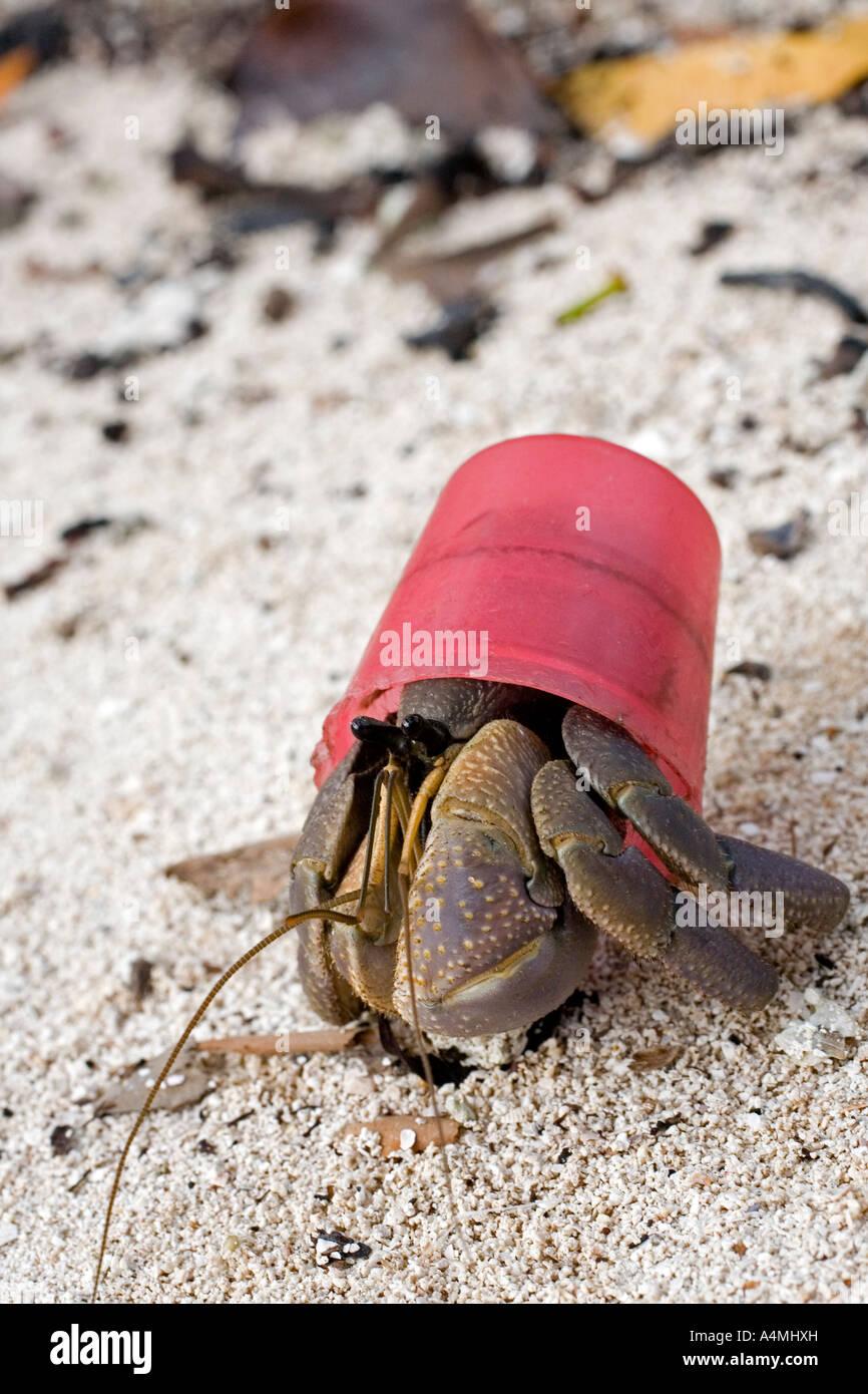 this-terrestrial-hermit-crab-coenobita-is-using-a-red-bottle-cap-as-A4MHXH.jpg