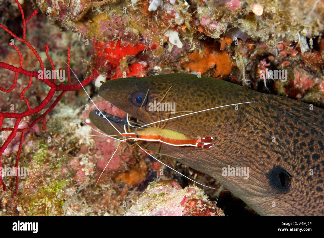 giant-moray-gymnothorax-javanicus-and-cleaner-shrimp-lysmata-amboinensis-A4MJ5P.jpg