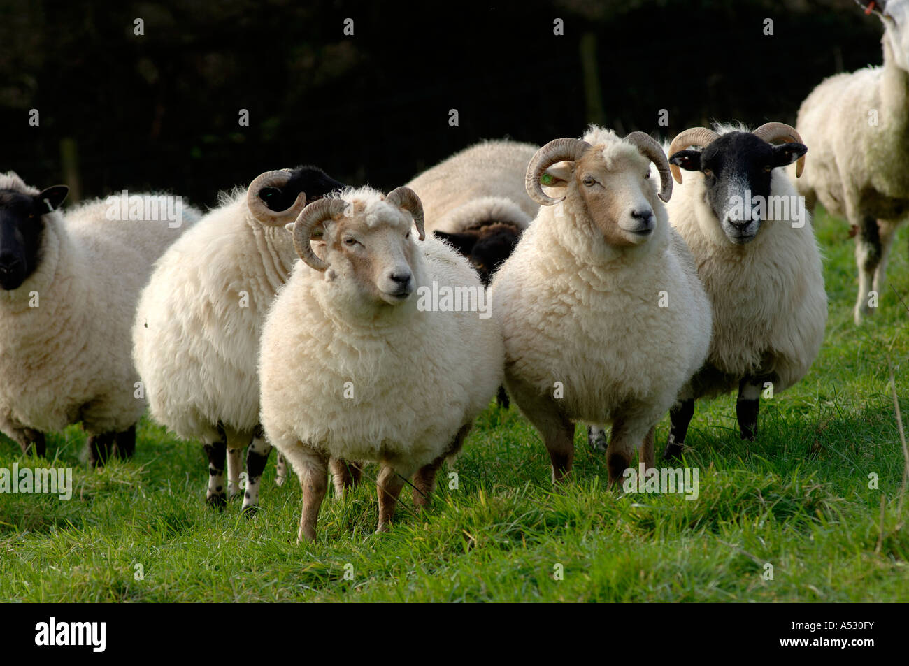 Portland sheep with other breeds before winter lambing Devon - Stock Image