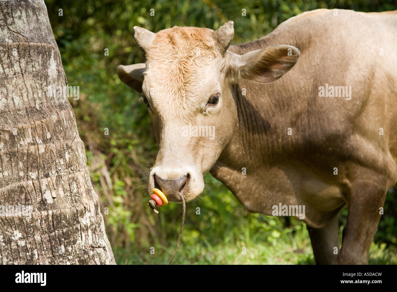 Cow Tethered, by the nose. An Asian bovine farm animal secured for grazing in Krabi town Province Thailand - Stock Image