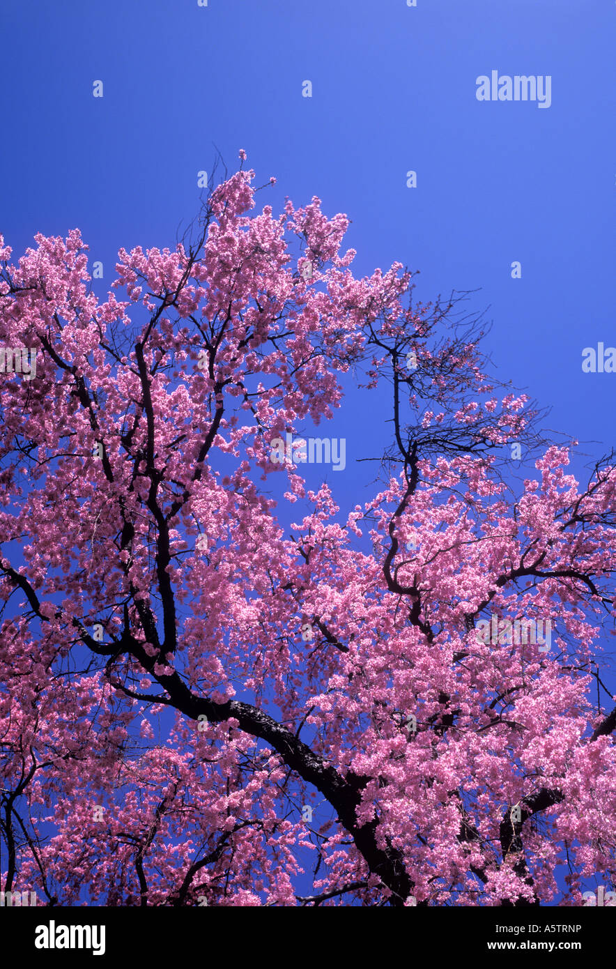 Pink Flowering Tree With Blue Sky In Spring Time Pennsylvania Usa