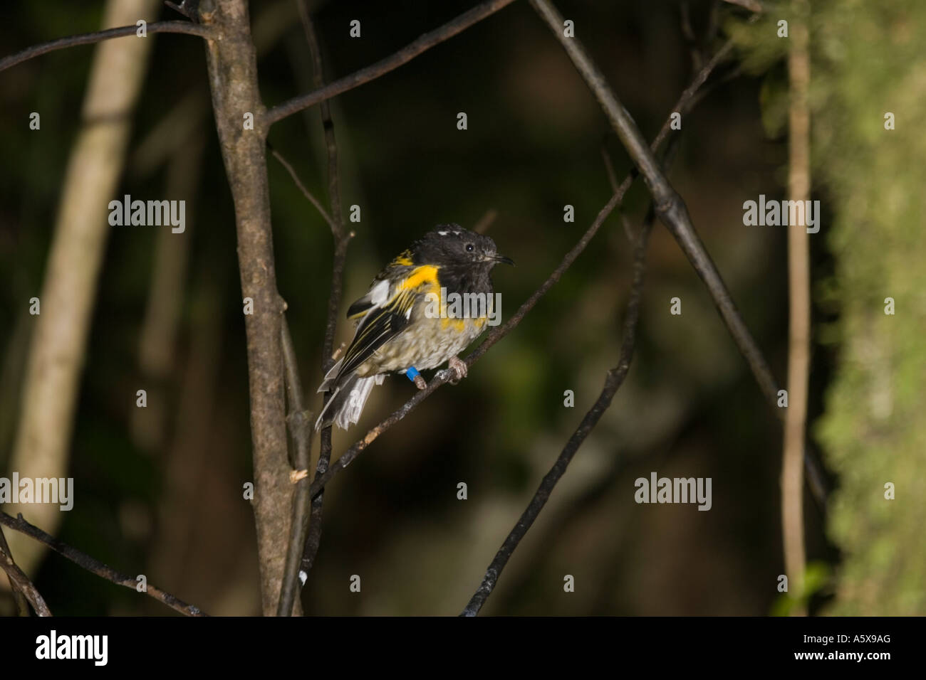 Rare Stitch bird or Hihi Notiomystis cincta Kapiti island bird sanctuary near Wellington New Zealand - Stock Image