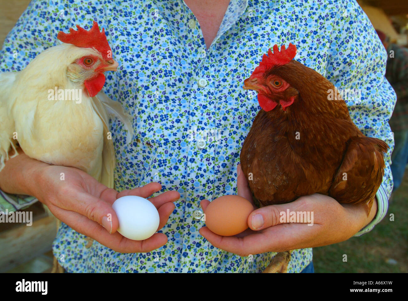 genetics-a-woman-holds-a-brown-chicken-and-a-white-chicken-with-their-A66X1W.jpg