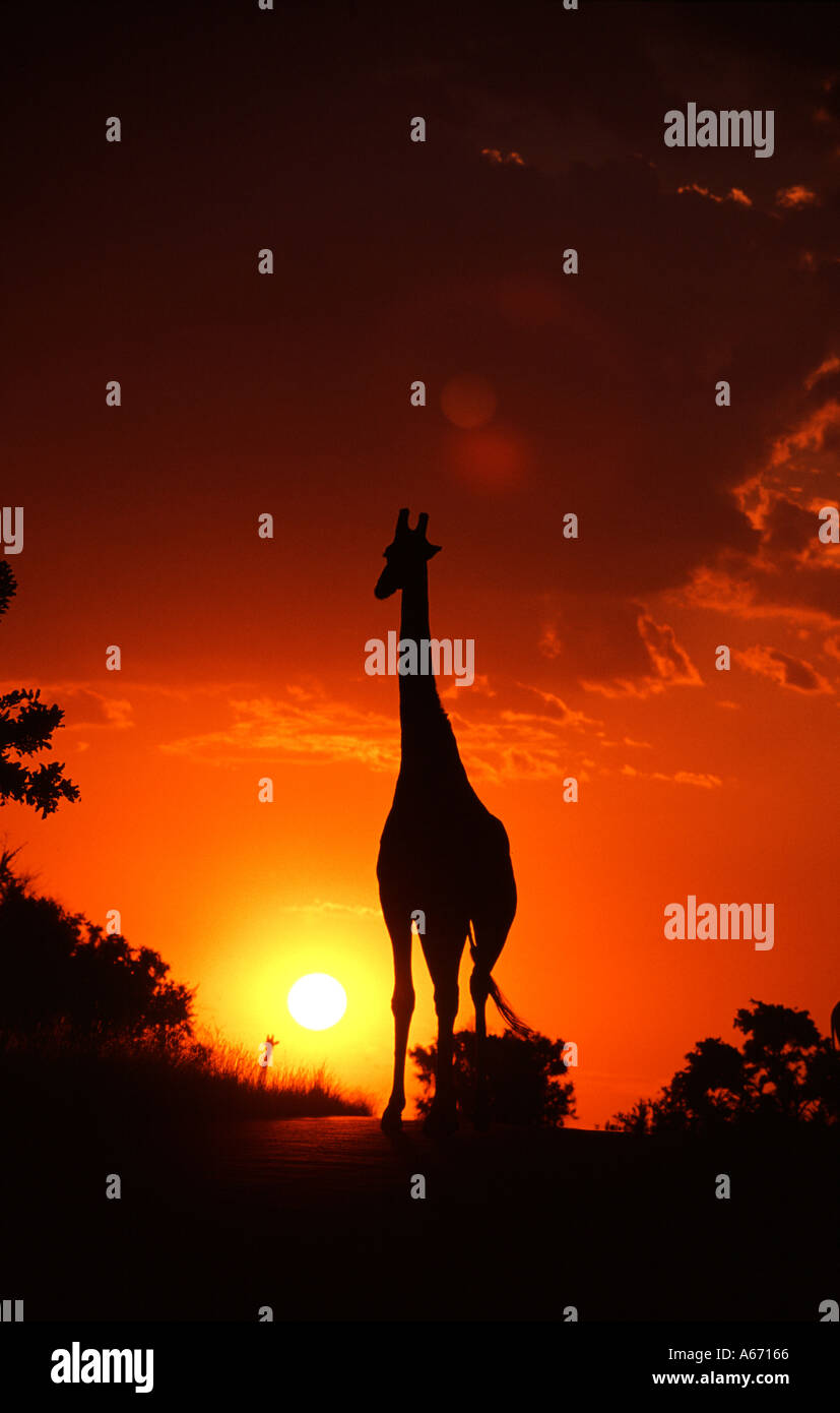 GIRAFFE and African Sunset - Stock Image