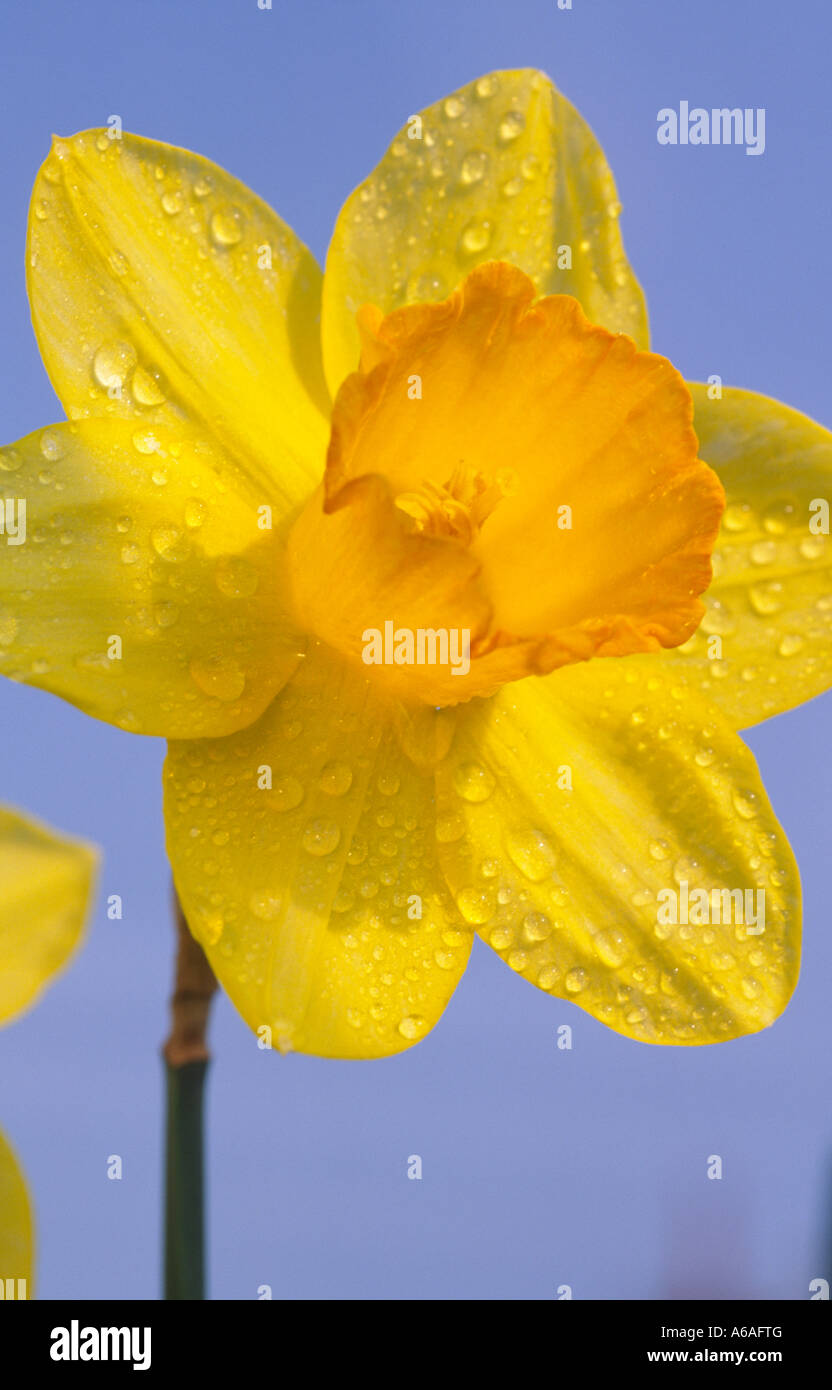 Rain Drops On The National Emblem Symbol Of Wales The Daffodil