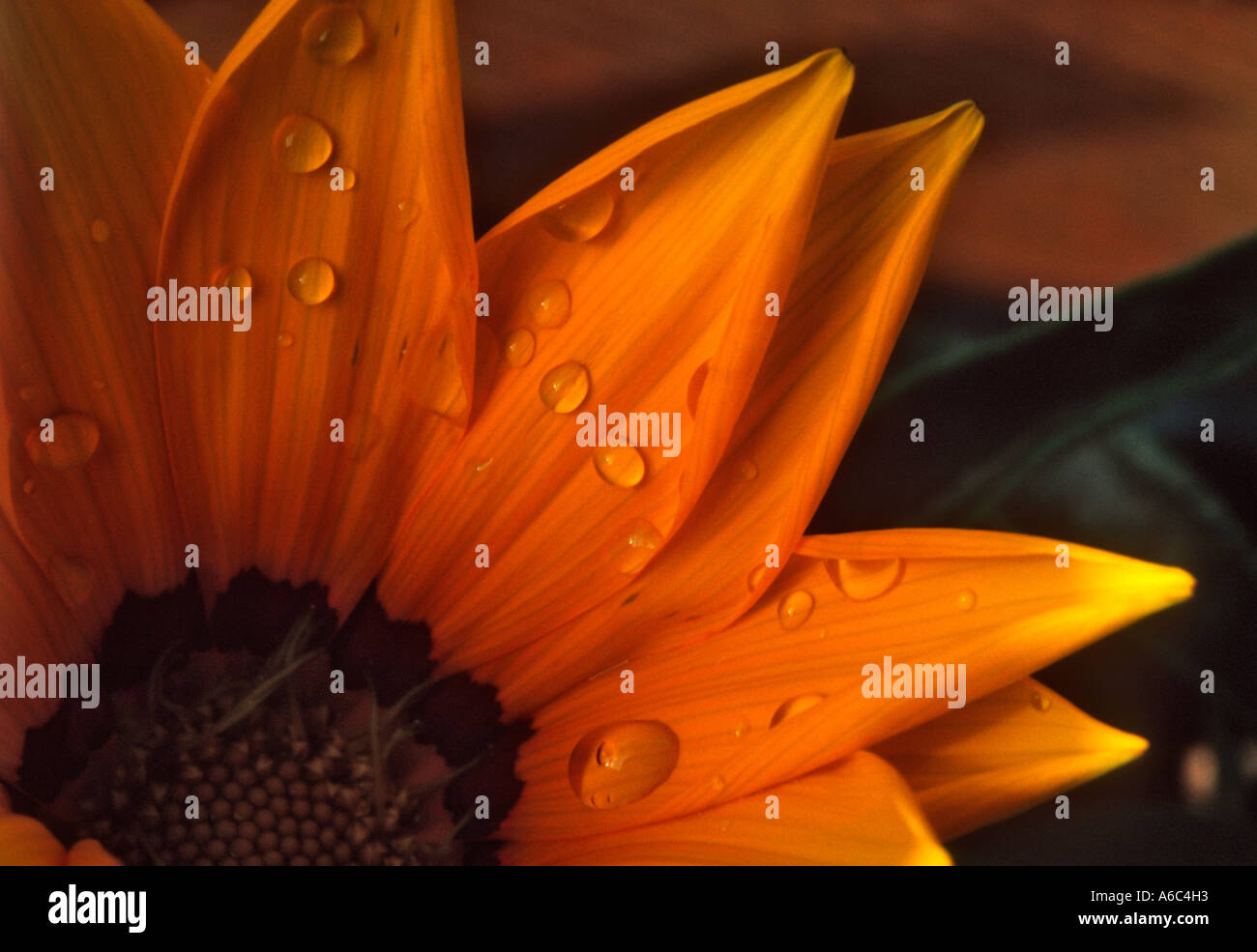 After a shower drops of rain left on the petals of a yellow gazania flower Stock Photo
