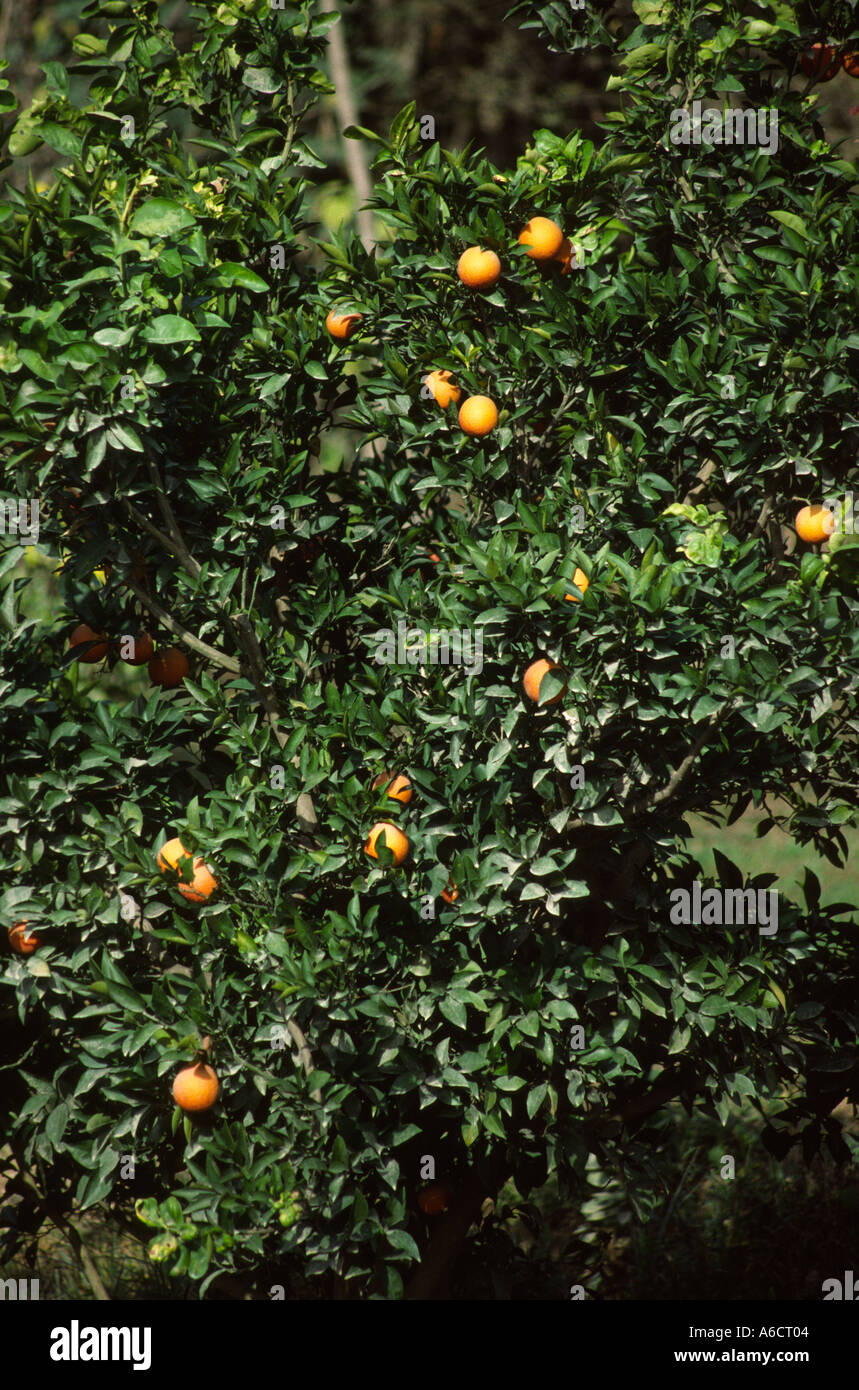 Pakistan Western Punjab Taxila agriculture fruit oranges growing in orchard - Stock Image