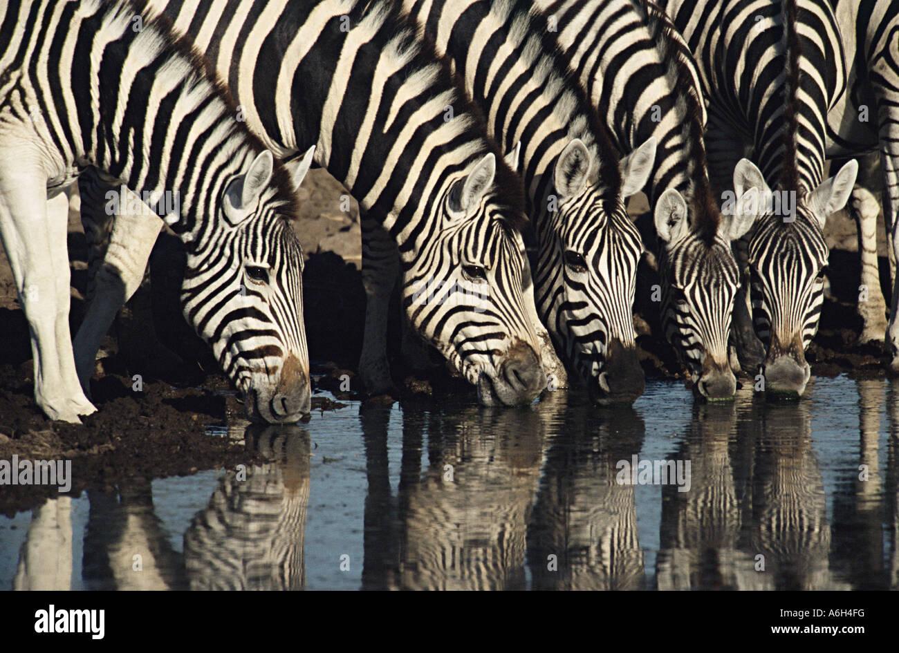 Zebra drinking from waterhole - Stock Image