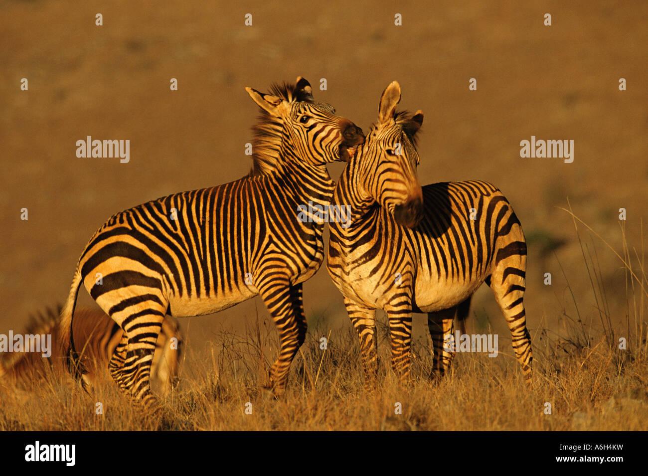 Hartmanns mountain zebra - Stock Image