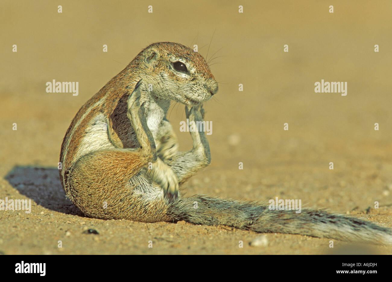 Cape Ground Squirrel (Xerus inauris), female sitting - Stock Image