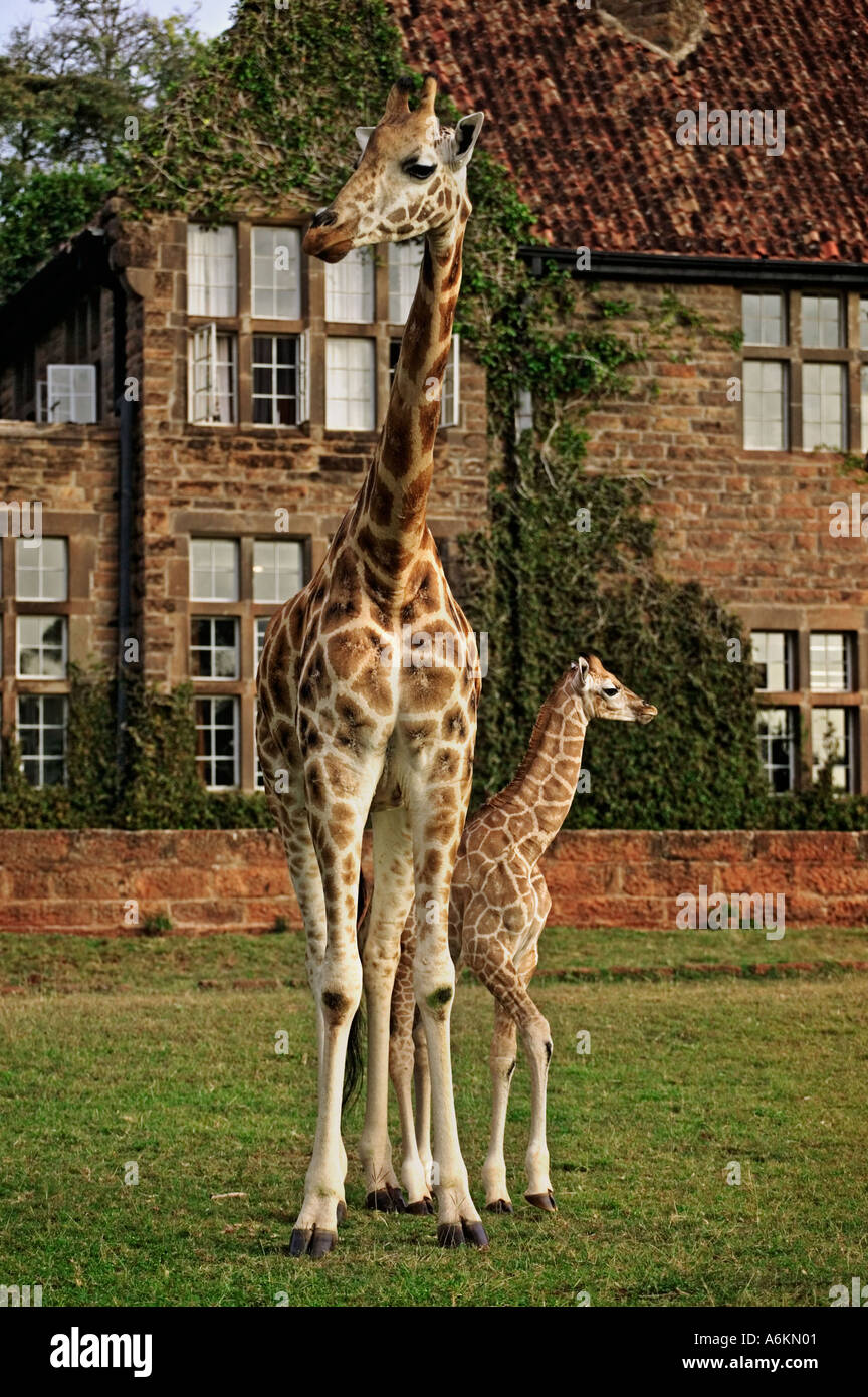 Tourism Giraffe outside Giraffe Manor Property released Nairobi Kenya - Stock Image