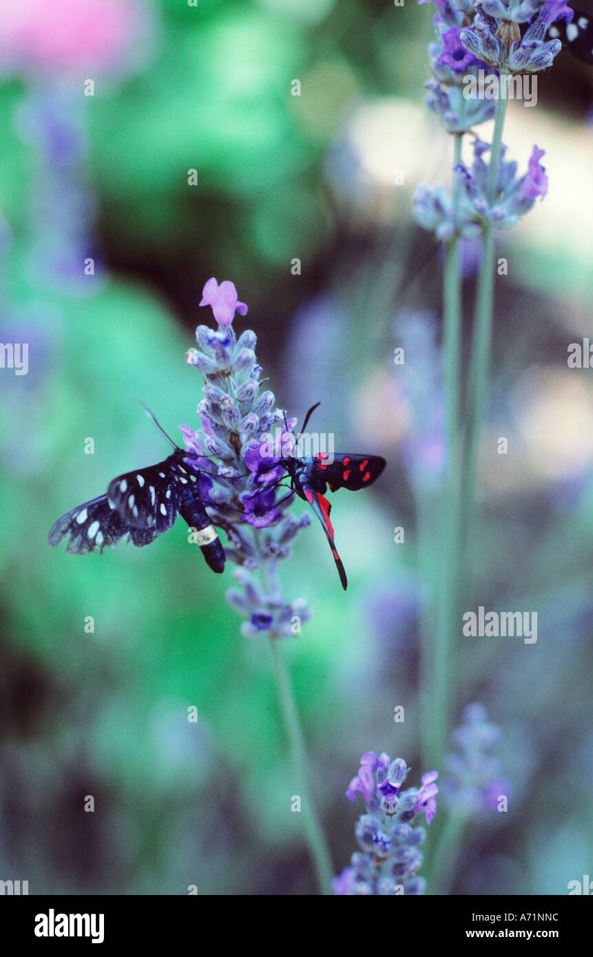 Two Butterflies on a Lavender Flower Spoleto Italy - Stock Image